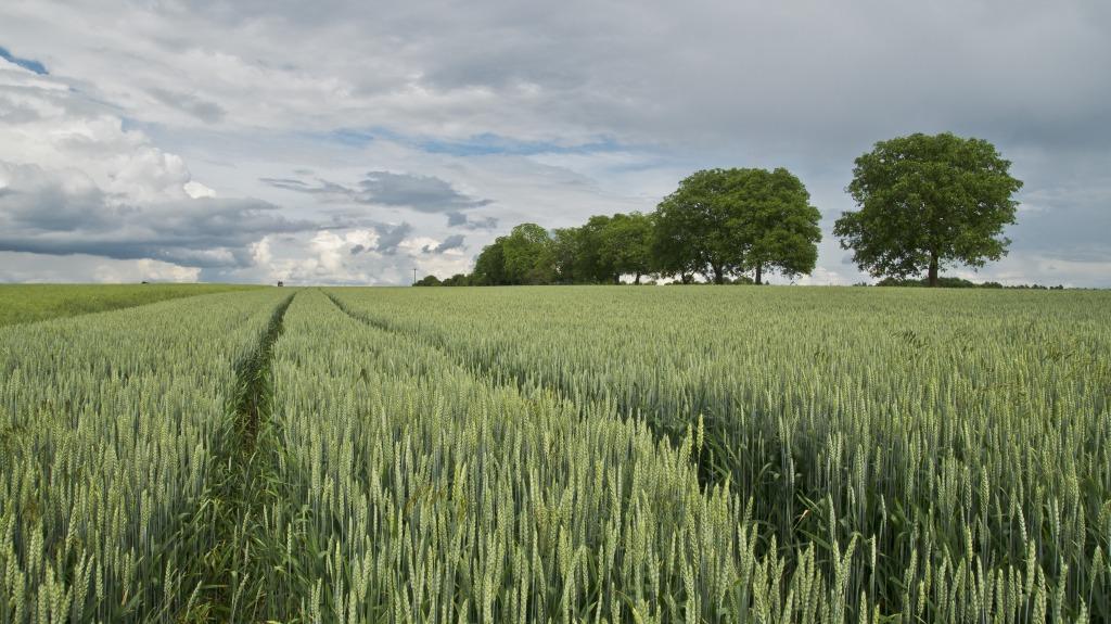 wheat-175960